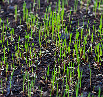 sprouting grass seed